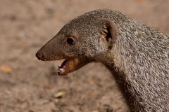 Banded Mongoose. (Mungos mungo), in Botswana Royalty Free Stock Images