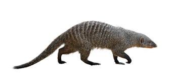 Free Banded Mongoose Stock Image - 45472011