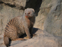 Banded mongoose. In shanghai zoo Royalty Free Stock Images