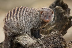 Banded Mongoose. A banded mongoose on a tree trunk Stock Photos