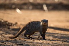 Banded Mongoose. A banded mongoose in the African Bush Royalty Free Stock Photography