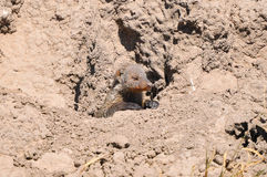 Banded Mongoose. African leaning in the burrow Stock Photos