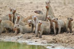 Banded Mongoose - African Wildlife Background - Banded Brothers Royalty Free Stock Photography