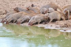 Banded Mongoose - African Wildlife Background - Pleasure of Water Stock Photo