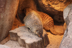 Banded mongoose animal black white isolated mammal africa nature carnivore Stock Photo