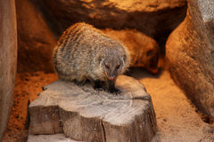 Banded mongoose animal black white isolated mammal africa nature carnivore Stock Photography