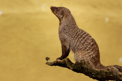 Banded Mongoose. Sitting on a wooden branch looking away from the camera Stock Photo