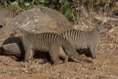 Banded Mongoose - Botswana. Two Banded Mongoose (Mungos mungo) in Chobe National Park in Northern Botswana Royalty Free Stock Image