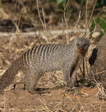 Banded Mongoose - Botswana. A Banded Mongoose (Mungos mungo) in Chobe National Park in Botswana Royalty Free Stock Photos