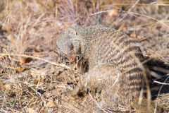 Banded mongoose chewing nails. A banded mongoose seeming to chew its nails Royalty Free Stock Photo