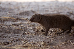 Banded Mongoose - Chobe N.P. Botswana, Africa Royalty Free Stock Photo