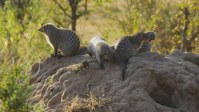 Banded mongoose colony on a termite mound in masai mara
