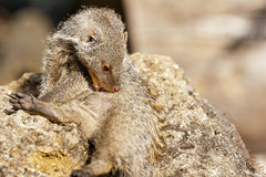 Banded mongoose Stock Images