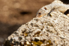 Banded mongoose Royalty Free Stock Photo
