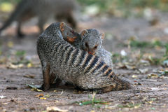Banded mongoose - Couple during hygiene. The banded mongoose & x28;Mungos mungo& x29;, pair clean each other, couple hygiene on the ground stock images