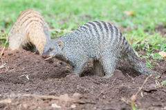 Banded mongoose digging for bugs. In the dirt Stock Photos