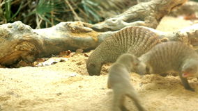 Banded mongoose Royalty Free Stock Photos