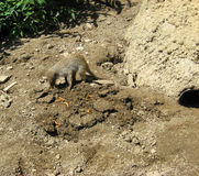 Banded mongoose eating Royalty Free Stock Images