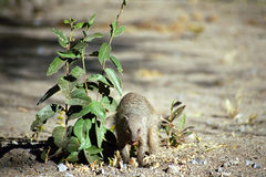 Banded mongoose, Etosha National Park, Namibia. Banded mongooses are small predators living in the semi-desert area of Etosha National Park in Namibia Royalty Free Stock Image