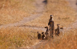 The Banded Mongoose Family. A family-group of Banded Mongooses (Mungos mungo) makes a stop in their restless wandering, always alert to any threat Royalty Free Stock Photography