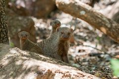 Banded Mongoose family laying down looking at the camera. Banded Mongoose family Banded Mongoose family sitting on a rock alert looking at the camera Royalty Free Stock Photo