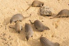 Banded mongoose family, Mungos mungo Royalty Free Stock Photography