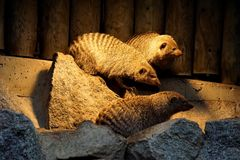Banded mongoose family on a rock. Under a lamp Royalty Free Stock Photo