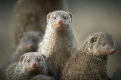 Banded mongoose. Family standing together Royalty Free Stock Photography