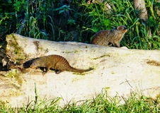 Banded mongoose on feed search Stock Photos