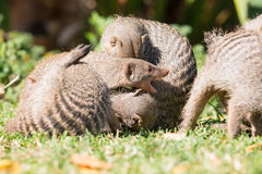 Banded mongoose fighting. Each other Royalty Free Stock Image