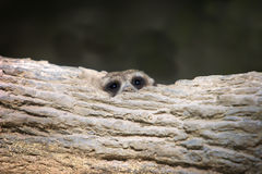 Banded mongoose head Stock Images