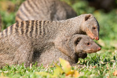 Banded mongoose hug. Ging a family member Royalty Free Stock Images