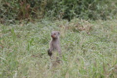 Banded Mongoose. Inquisitive little banded mongoose inspecting its surroundings Stock Images