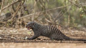 Banded mongoose in Kruger National park, South Africa. Specie Mungos mungo family of Herpestidae Stock Image