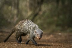 Banded mongoose in Kruger National park, South Africa. Specie Mungos mungo family of Herpestidae Royalty Free Stock Photos