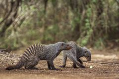 Banded mongoose in Kruger National park, South Africa. Specie Mungos mungo family of Herpestidae Stock Photos