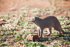 Banded mongoose in late afternoon light Stock Photography
