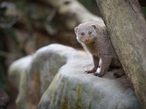 Banded mongoose. Looking from its shelter Stock Images