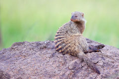 Banded Mongoose Looking Over Shoulder. Sitting atop a Termite mound in Kenya's Masai Mara, a single Banded Mongoose is the 'look-out' for the group - and checks Stock Photos