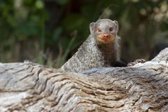 Banded mongoose is a lookout on tree stump Stock Image