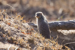 Banded mongoose is a lookout on tree stump Royalty Free Stock Photos