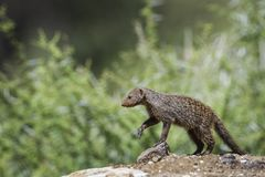 Banded mongoose in Mapungubwe National park, South Africa. Specie Mungos mungo family of Herpestidae Royalty Free Stock Photo