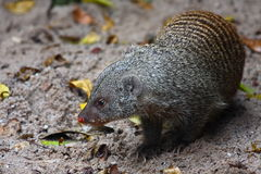 Banded Mongoose (Mungos mungo) Royalty Free Stock Images
