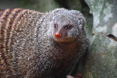 Banded Mongoose (Mungos mungo). The Banded Mongoose (Mungos mungo) is a mongoose  commonly found in the central and eastern parts of Africa Stock Photos