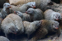 Banded Mongoose (Mungos mungo). The Banded Mongoose (Mungos mungo) is a mongoose  commonly found in the central and eastern parts of Africa Royalty Free Stock Image