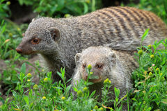 The banded mongoose. (Mungos mungo Stock Photos