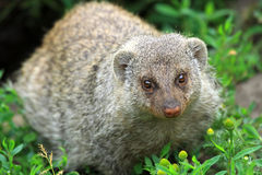 The banded mongoose Royalty Free Stock Images