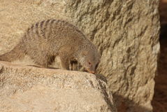 Banded Mongoose - Mungos mungo Stock Photo