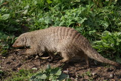 Banded Mongoose - Mungos mungo Royalty Free Stock Photos