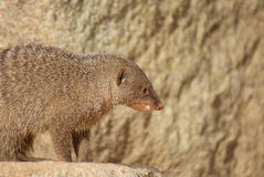 Banded Mongoose - Mungos mungo Royalty Free Stock Photo